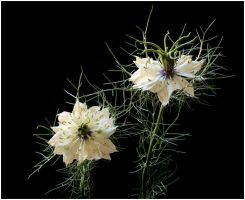 LOVE-IN-A-MIST by THOM-B-FOTO