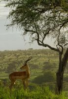 Impala by SCHPONG