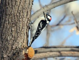 Male Downy Woodpecker by sgt-slaughter