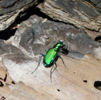 Six-spotted Tiger Beetle by duggiehoo