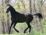 Bay Dutch Warmblood Gelding Cantering Tack Removal by HorseStockPhotos