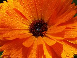 Gerbera by Mprintochainis