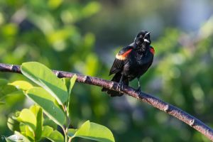 Red-winged blackbird by CyclicalCore