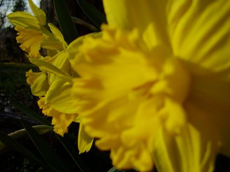 Daffodils by readthewholelibrary