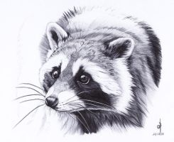 . Raccoon . by Maiwenn