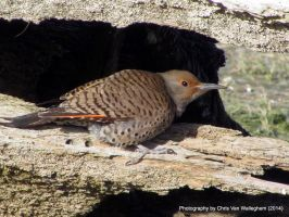 Northern Flicker, Driftwood II by vanwaglajam