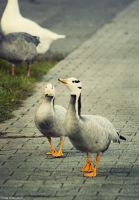 Mosel Geese by m3tzgore
