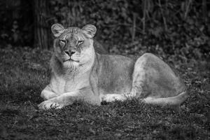 Lion, KA I by FGW-Photography