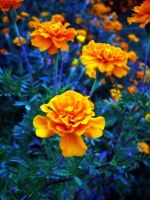 Marigolds 1. by TheZoMbieMoshPiT