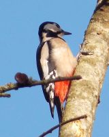 Greater spotted woodpecker by Satorstar