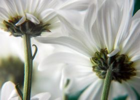 Daisies unders by LucieG-Stock