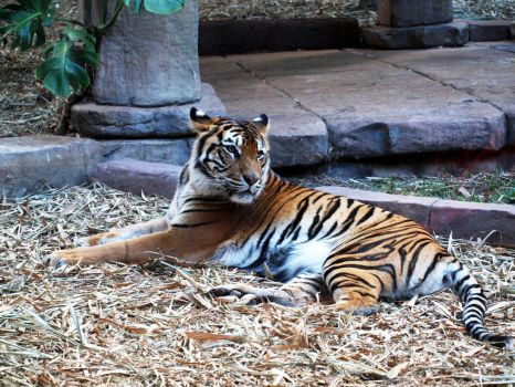 AUZOO Tiger 22 by becuffin