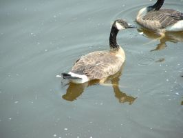Canadian goose by kirablack