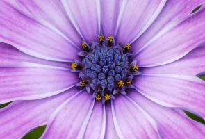 Purple Daisy by ArchandSoul