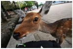 Miyajima Deer by escape-is-at-hand