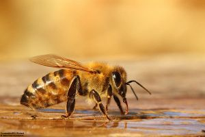 Apis mellifera by RichardConstantinoff