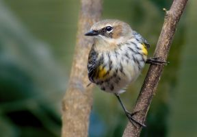 Yellow Rumped Warbler by rctfan2