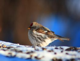 Puffy Redpoll by Sagittor