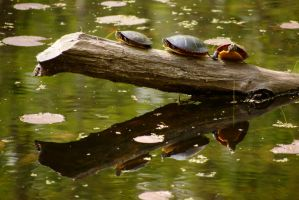 Turtles on a Log by dseomn