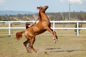 GE Arab chestnut young rearing side view by Chunga-Stock