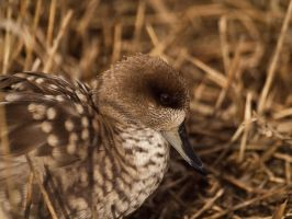 Marbled Teal 00 - Mar 12 by mszafran