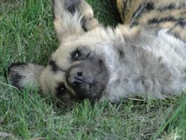African Wild Dog by SandSibilings