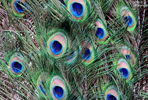 Peacock Feathers by FortySixand2Photos