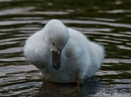 Baby Swan by Uberdadeh