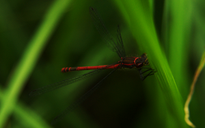 red dragonfly by Flu87