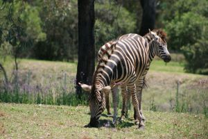 Zebra by How-You-Remind-Me