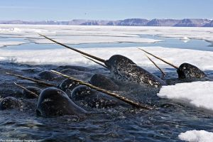 Narwhals by CassidyLovesArt