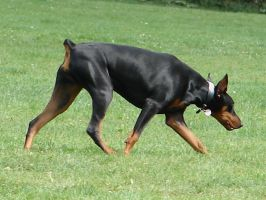 Doberman Pinscher Purebreed 2 by FantasyStock
