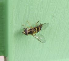 Hoverfly 12 by Windthin