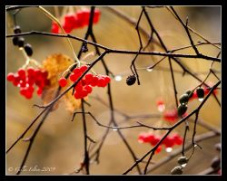 Winterberries by Swordtemper