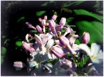Lilac Flowers by surrealistic-gloom