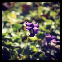 Wild Violets by star1luver2006