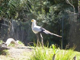 Secretary Bird by BlackFlameVampire