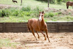 Km QH trot frontside view by Chunga-Stock