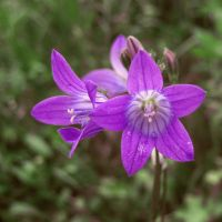 Campanula - purple june by miss-gardener