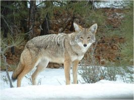 Grand Canyon Coyote 2 by PROUDdevildogMAMA