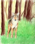 The Coyote by mysteriouswhitewolf