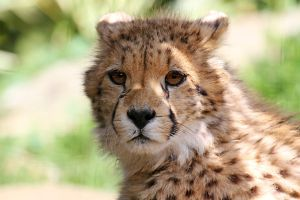 Cheetah Cub Look by SnowPoring