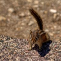 Chipmunk - 4 by ElaineSeleneStock