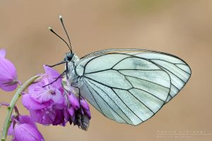 Aporia  crataegi by Mantide