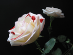 Stained White Rose by Caligari-87