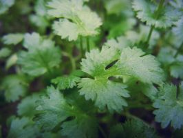 Cool Coriander by ModestMan349