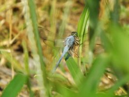 Dragonfly VII by youngunlovedpoet