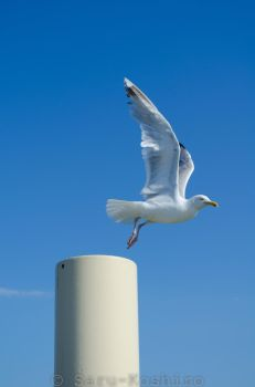 Flying Seagull by Saru-Koshiro