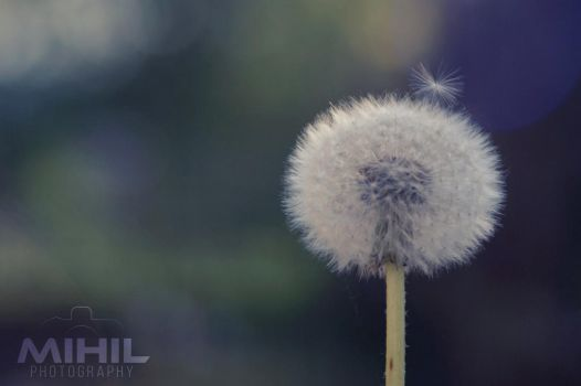 Dandelion by Mihil