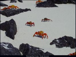 Running Red Crabs by AndySerrano